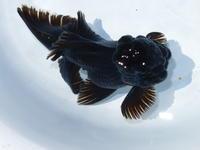 6月9日新着金魚のご紹介です。 - フルタニ金魚倶楽部blog