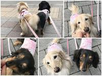 17年6月9日 サロン&ランチ♪ - 旅行犬 さくら 桃子 あんず 日記
