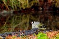 富士山の鳥・2 - 暮らしの中で