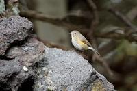 富士山の鳥・3 - 暮らしの中で