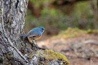 富士山の鳥・4 - 暮らしの中で