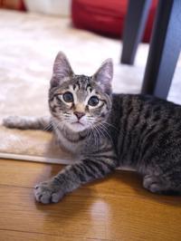 猫のお留守番 アメくん編。 - ゆきねこ猫家族
