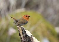 コマドリ - 『彩の国ピンボケ野鳥写真館』