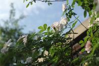 5月12日 雲の美しい朝日を受けたデッキ周りの薔薇たち - Reon&Roses+Lara