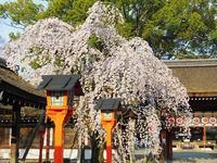 桜回顧(3)平野神社 - 徒然彩時記