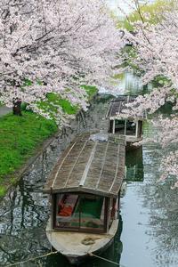 京都の桜2017 伏見十石舟と桜並木 - 花景色-K.W.C. PhotoBlog