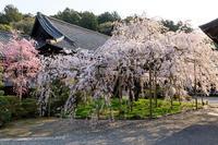 京都の桜2017 朝日を浴びて(毘沙門堂) - 花景色-K.W.C. PhotoBlog