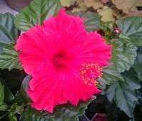 赤い花・白い花♪ - 新 LANILANIな日々