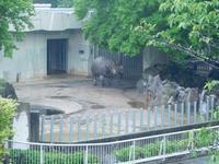 インドサイのセラ@東山動物園 2017.05.13 - ごきげんよう 犀たち