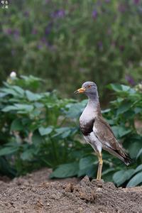 ケリの立ち姿 - 野鳥公園