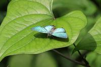 オオミドリシジミ   小粋なゼフ - 蝶のいる風景blog