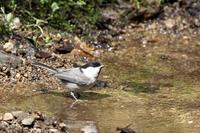 水浴び大好き:コガラ - 武蔵野の野鳥