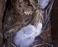 オオコノハズクの餌は・・・ - おらんくの自然満喫
