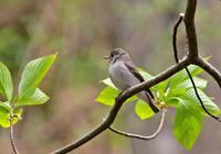 ・コサメビタキ - 鳥見撮り