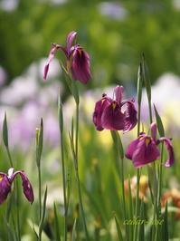 花しょうぶまつり - 瞳の記憶