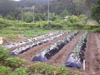 サツマイモの苗の定植、キュウリ定植、畑の様子 - にじまる食堂 & にじまる農園