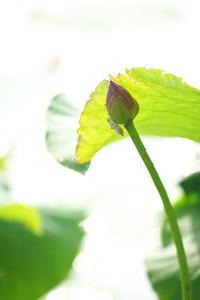 蓮華寺池公園二つの命の誕生:蓮の花と蜻蛉。 - 蓮華寺池の隣5