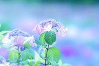 城北公園の紫陽花(ゆるふわ系)と昆虫達@2017-06-08 - (新)トラちゃん&ちー・明日葉 観察日記