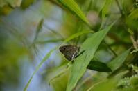 ウラナミジャノメ 6月10日 - 超蝶
