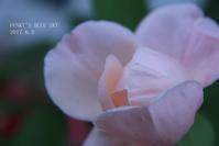 薔薇*2017・STORY8 セントセシリア* と、淡いピンクの薔薇*たち  - FUNKY'S BLUE SKY