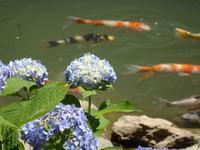 『山紫陽花の寺 三光寺を散策して・・・・・♪』 - 自然風の自然風だより