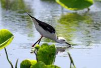 セイタカシギ亜種 - ずっこけ鳥撮り日記