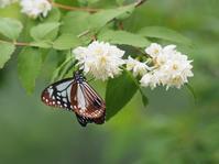 アサギマダラ - 風の翅