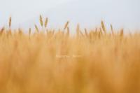 麦秋の候 - 流れのほとり
