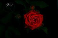 FujifilmXE-2~Rose or Hydrangea~ - Bonjour! 二眼レフ