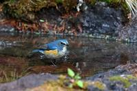 富士山麓にて:ルリビタキ - 武蔵野の野鳥