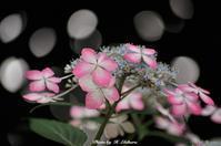 ピンクの紫陽花 - 写真家 海老原 勇人