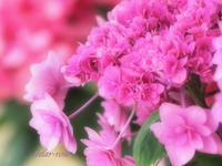ピンクの誘惑 - 瞳の記憶