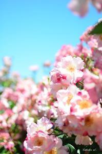 バラ ハナガスミ - 今日の小さなシアワセ