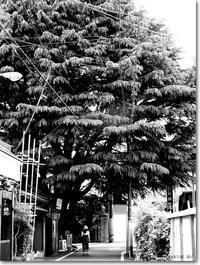 【ひ】ヒマラヤ杉:ひまらやすぎ - ネコニ☆マタタビ