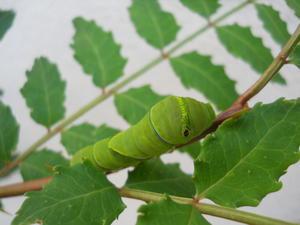 蝶の幼虫 - おやく- 桐生発、佳寿ひらかたオリジナルおやきブログ