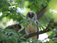 今季初撮りトラフズク - 『彩の国ピンボケ野鳥写真館』
