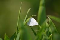 ウラギンシジミ 6月10日 - 超蝶
