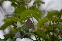 ウラクロシジミ 6月11日 - 超蝶