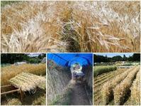 大麦刈取り - ■■ Ainame60 たまたま日記 ■■