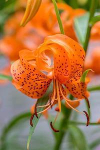 オニユリ - あだっちゃんの花鳥風月