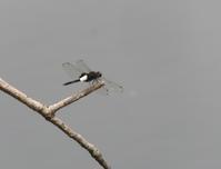 呑むさんのお気に入り蜻蛉図鑑・21 - 呑むさん蝶日記