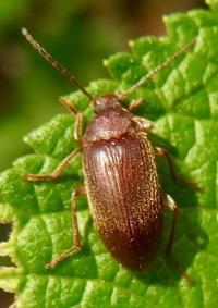 『朽木虫』 ウスイロクチキムシ Allecula simiola. - 自然感察 *Nature * feeling*