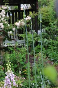 長身のアリウム - バラと遊ぶ庭