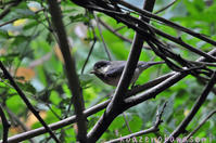 チビヤマガラ - 気ままな生き物撮り