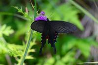 アザミに集う蝶 オナガアゲハのメス Byヒナ - 仲良し夫婦DE生き物ブログ