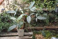 Philodendron cf. angustilobum - PlantsCade -2nd effort