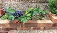 いちごの収穫結果(5月) - *Smile Handmade* ~スマイルハンドメイドのブログ~