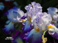 虹の花 - 君に届け