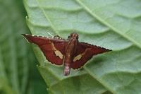 オオウスベニトガリメイガ?  Endotricha icelusalis? - 写ればおっけー。コンデジで虫写真