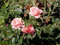 やっと「薔薇」が咲きだした - 【出逢いの花々】